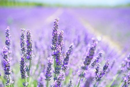 lavendel fuer aromatherapie